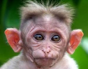 ears monkey